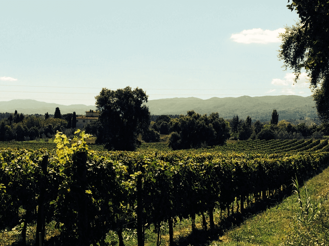 The vineyard where Il Palagio wines begin
